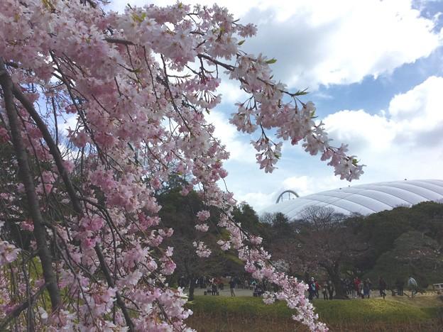 撮って出し。。満開枝垂れと東京ドーム。。(^^) 4月2日