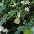 写真: キチョウの秋型0816