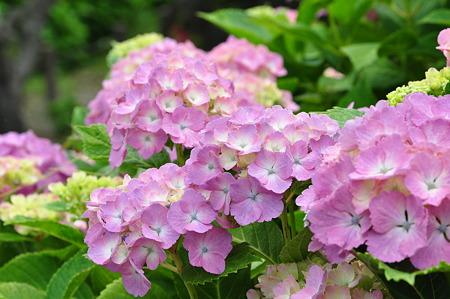 河村瑞賢公園の紫陽花・3