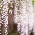 Photos: 5月4日 藤棚