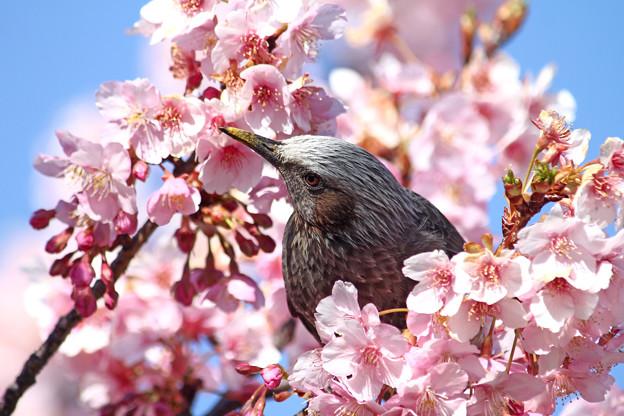 写真: 河津桜とヒヨドリ