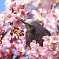 Photos: 河津桜とヒヨドリ