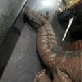 Photos: 怪獣酒場のゴモラさんの、またがれる前の尻尾。いい感じな折り畳まれ具合