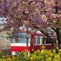 写真: 春色特急 ~菜の花と河津桜と京浜急行~