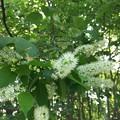 シウリザクラも開花