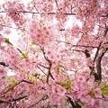yodoSakura_V15mm_DSC06469