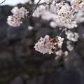 Photos: takedajoSakura_DSC06748