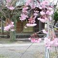 Photos: 神社の境内と しだれ桜