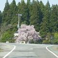 Photos: 突き当たりの枝垂桜