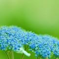 儚い紫陽花~Blue&Green~