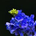 儚い・・・紫陽花