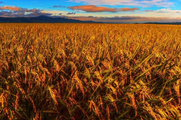 Harvest Season ~黄金稲~