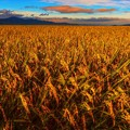 Photos: Harvest Season ~黄金稲~