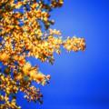 写真: 秋の空 ~Blue&Yellow~