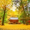 写真: 銀杏黄葉の舞い散る境内で・・・たった今、風が止まった