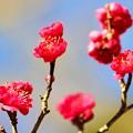 写真: 今年最初の・・・春の華 ~紅梅~