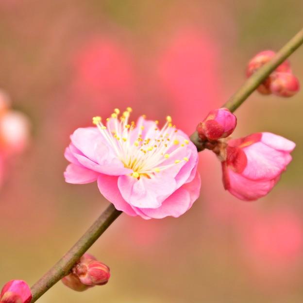 写真: 紅梅 ~ 溢れる蕾から ひとつひとつ香り立つ ~