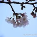 写真: 0072 ソメイヨシノも咲き始め