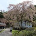 Photos: 小野豆しだれ桜