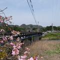 志文川の八重桜
