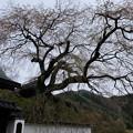 Photos: 光福寺の糸桜