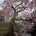 光福寺の親と子のしだれ桜
