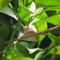 Photos: 夏みかんの木にオオカマキリの卵が