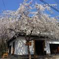 2015*哲学の道の桜5