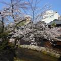 京都・祇園白川の桜1