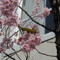 聖心女子大学の桜にメジロが!