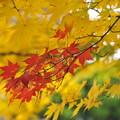 写真: 黄色に赤