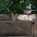 眠り猫 (池島)