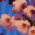 里桜(陽光)