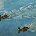 Photos: 川をゆったりと泳ぐ鴨の姿