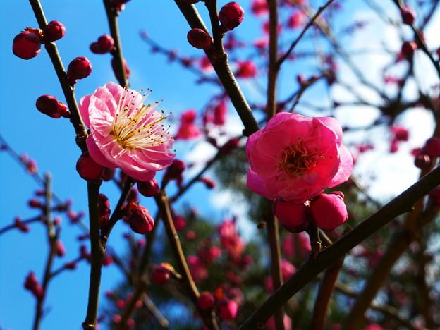 清荒神に咲く紅梅