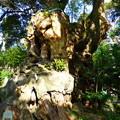 Photos: 高さ約26m 国指定天然記念物の大楠