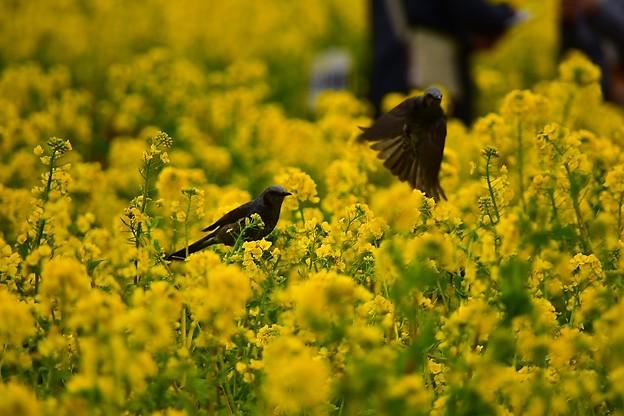 菜の花とヒヨドリ