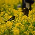 写真: 菜の花とヒヨドリ