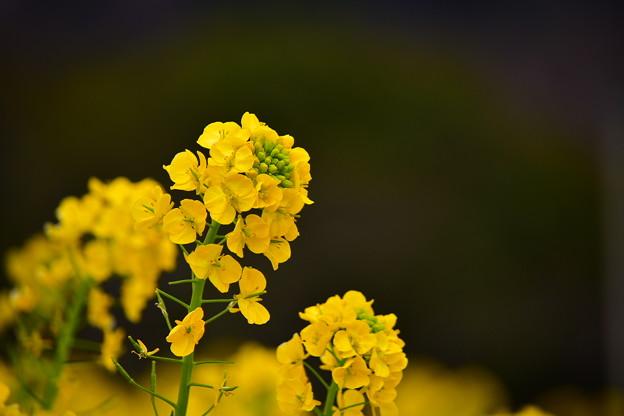 菜の花@コスモスの丘