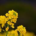 写真: 菜の花@コスモスの丘