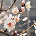 写真: 早咲きアーモンド