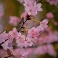 写真: 車折神社の桜