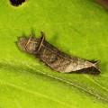 写真: コミスジ#3幼虫