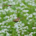 Photos: ソバ 蝶と蜻蛉添え