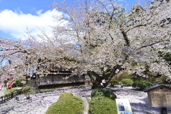 植栽が134年前という日本最古のソメイヨシノ