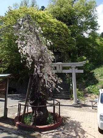 27 GW 岩手 鴬宿温泉 温泉神社のシダレザクラ
