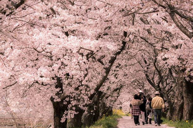 浮羽流川の桜並木♪?