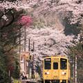 桜のトンネル♪?