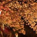 日田市中野川の八重桜♪