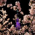 河津桜と東京スカイツリー♪3